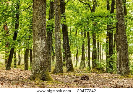 Green forest with oak trees in spring