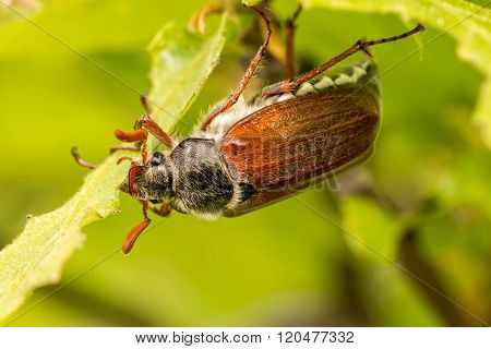 Close up of cockchafer (Melolontha melolontha) eating
