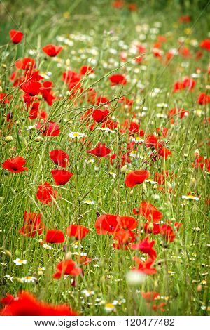 Poppy flowers in the green field(Papaver rhoeas)