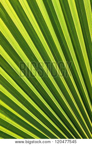 Beautiful detail from a palm leaf close up