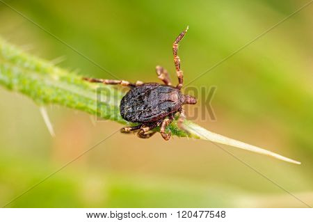 Parasite tick ( Ixodes ricinus) on the grass