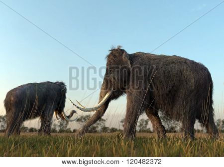 Woolly Mammoths In The Morning Sun