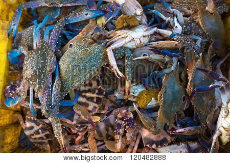 Flower crab, Blue crab, Blue swimmer crab, Blue manna crab, Sand crab, Portunus pelagicus, Portunus