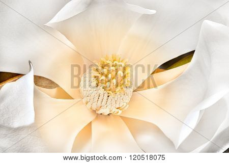 Magnolia Stigma With Carpels, Stamens And  White Petals Bloomed