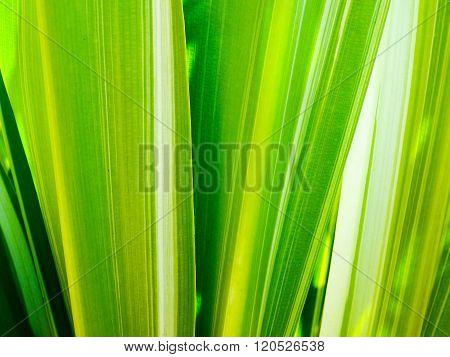 leaf of Dracaena fragrans