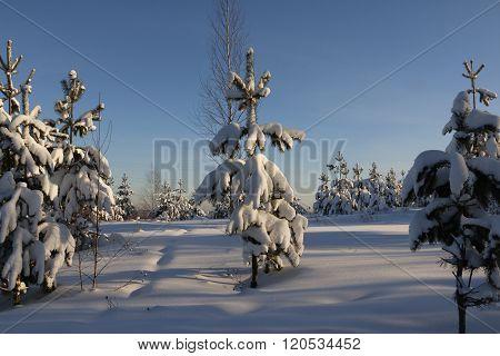 Trees in snow in sunny