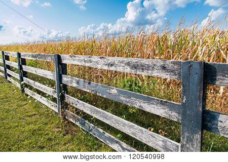 Yellow corn field behind black weathered fence at late summer. Country landscape