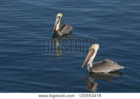 Brown Pelicans On  Blue Reflective Water