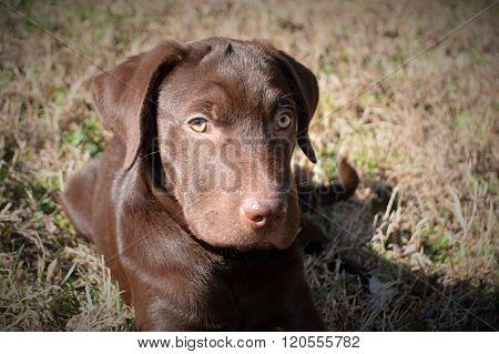 Close up of Lab pup