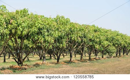 Mango Orchard In Thailand