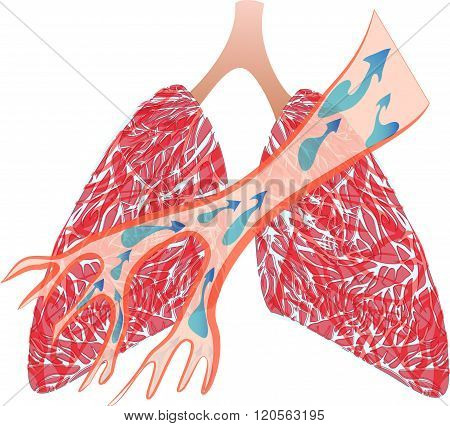 illustration of the trachea and lungs. expectorate means