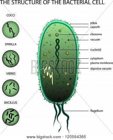 THE STRUCTURE OF THE BACTERIAL CELL
