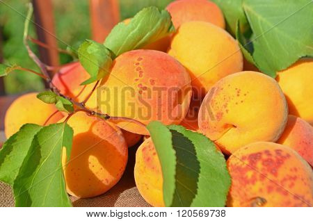 Ripe Apricots On Green Background