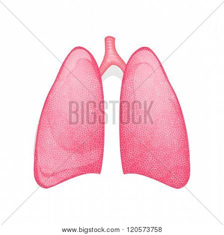 the lungs of a healthy person. vector