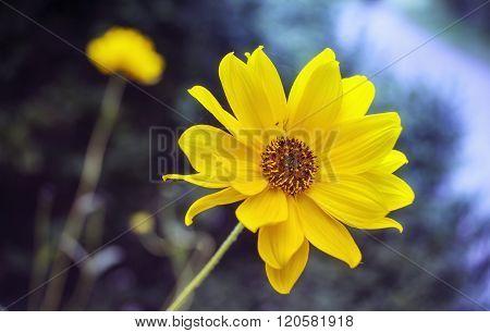 Arnica Blossom