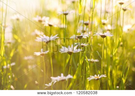 Blooming Chamomiles Field At Sunshine, Shallow Depth Of Field