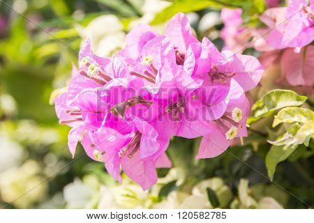 Beautiful Magenta Bougainvillea Flowers (bougainvillea Glabra Choisy), Soft Focus