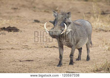 Single Old Warthog Walking To Waterhole To Drink