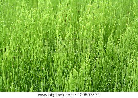 Marsh Horsetail Or The Humpback. (equisetum Palustre)