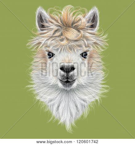 Llama animal portrait.