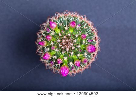 Cactus with pink flowers on a blue background the top view. Close up small depth of sharpness