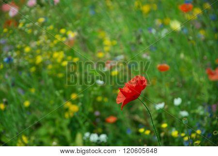 Red poppy flower in the meadow