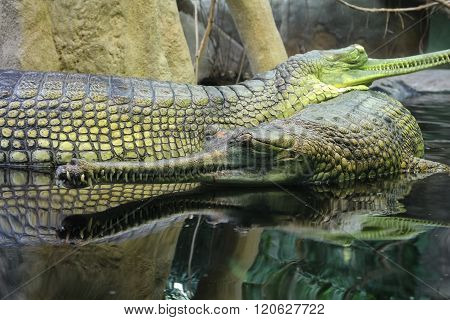 Gharial Gavialis gangeticus also knows as the gavial