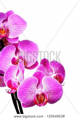 Orchid Isolated On White