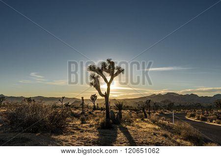 Sun Setting Behind Silhouette Of Joshua Tree