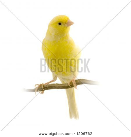 yellow canary on its perch in front of a white background poster