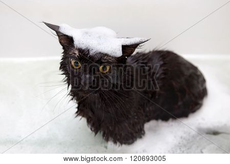 Maine Coon Cat Taking Bath