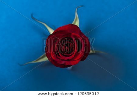 Red Rose, On Blue Background