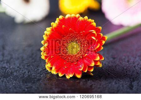 Bicolor Red Yellow Gerbera Daisy, Low Key On Black