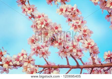 Blooming Of Almond