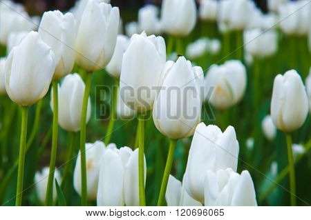 White tulips, meadow with flowers.