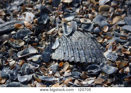 Beach Shell Texture (II)