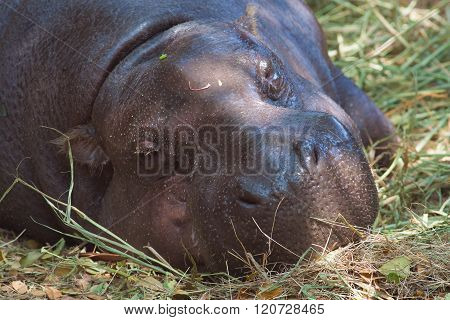 Pygmy Hippopotamus Sleeping