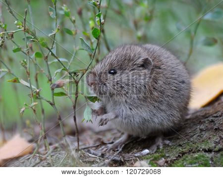 Common Vole Among Grass