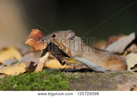 Striped Field Mouse Eating Mushroom