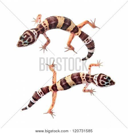 Leopard gecko (Eublepharis macularius) isolated on white