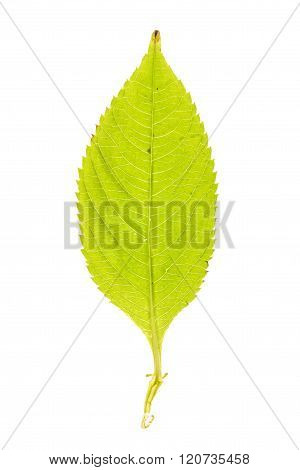 Green leaf of Small Balsam isolated on white