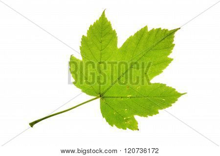 Sycamore maple leaf isolated on white