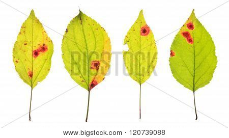 Leaves infected by Rust of cherry isolated on white poster