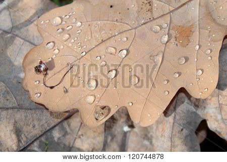 Dewdrops On Autumn Leaf Of Oak