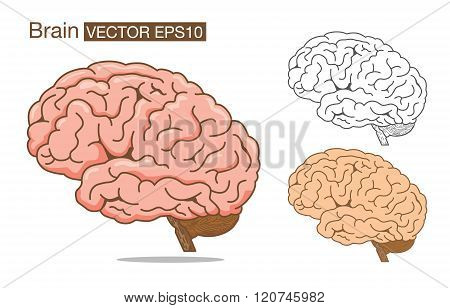 Brain vector outline and color on isolated