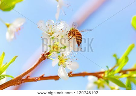 Cute little bee pollinating beautiful fresh young flowers of apple tree, honeybee collects pollen from fruit trees, beautiful nature of spring time