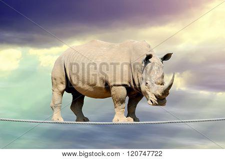 Rhino Walking On A Rope