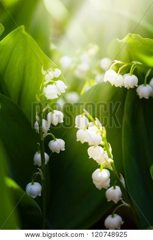 Growing Lilies Of The Valley