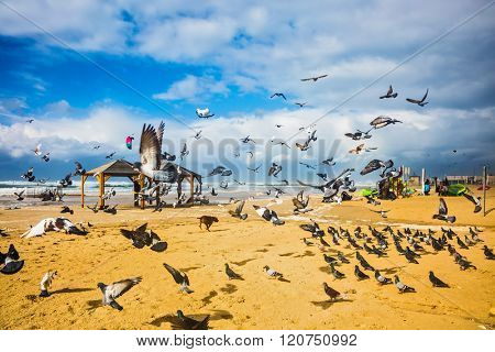 The noisy flock of pigeons taking off in fright from sandy beach. The windy January day in the Mediterranean