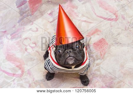 French bulldog party